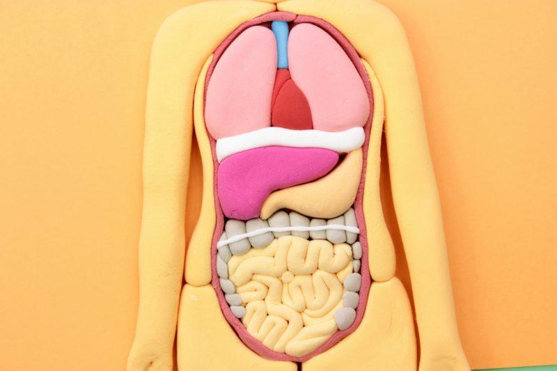 人体模型の内臓