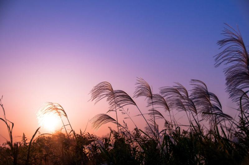 秋の空にすすきが風になびいている夕方