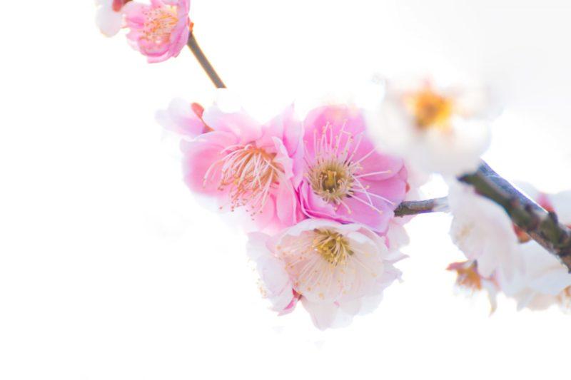 桃色の春の花