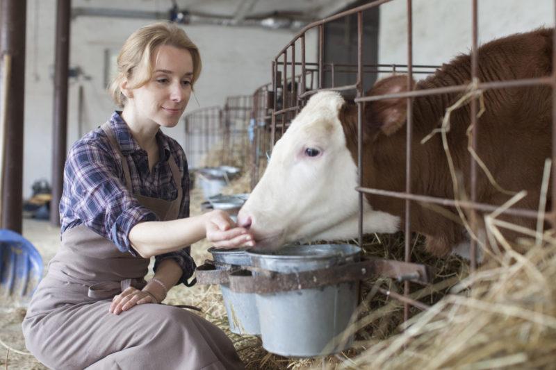 牛舎で牛に餌を与えている外国人女性