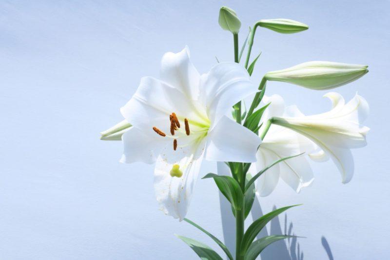 絢爛な白い百合