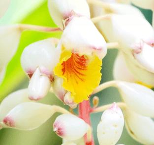 キメテ種子エキス画像
