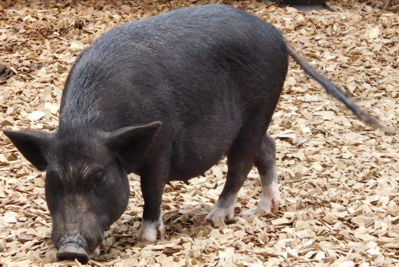 おがくずの中にいる黒い豚