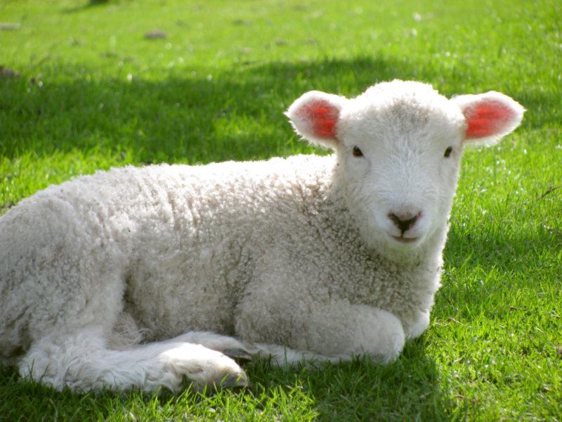 芝生の中にいる一頭の羊