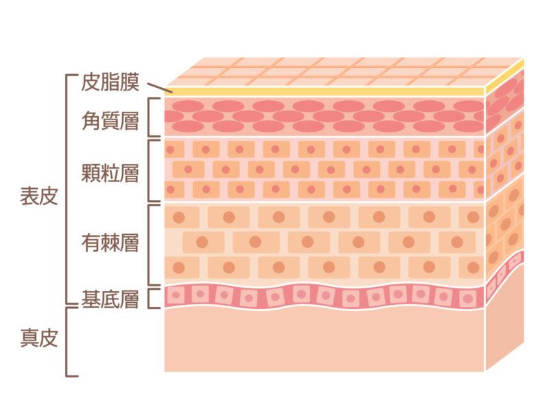 表皮の構造