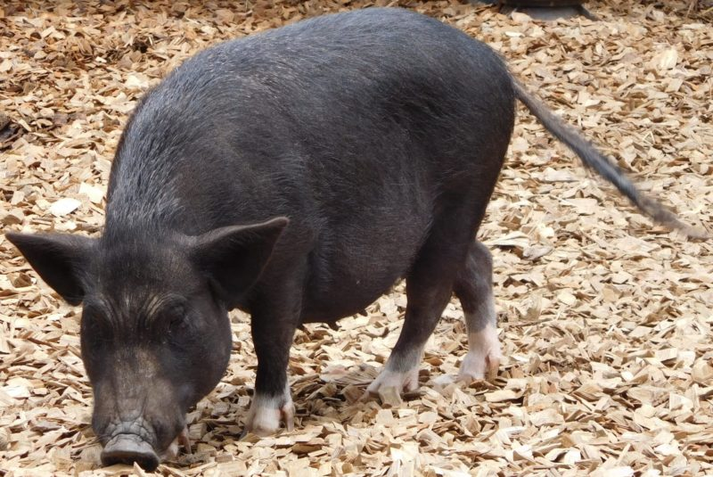 おがくずの上にいる豚