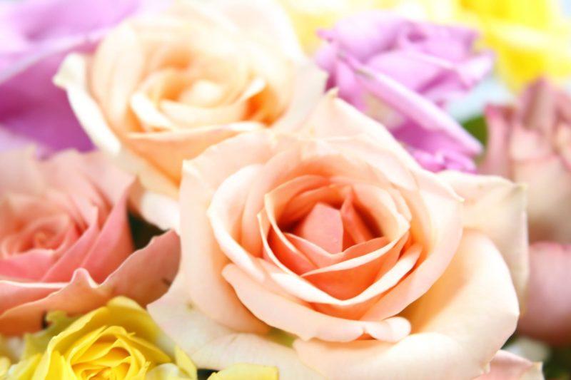 色とりどりの薔薇達