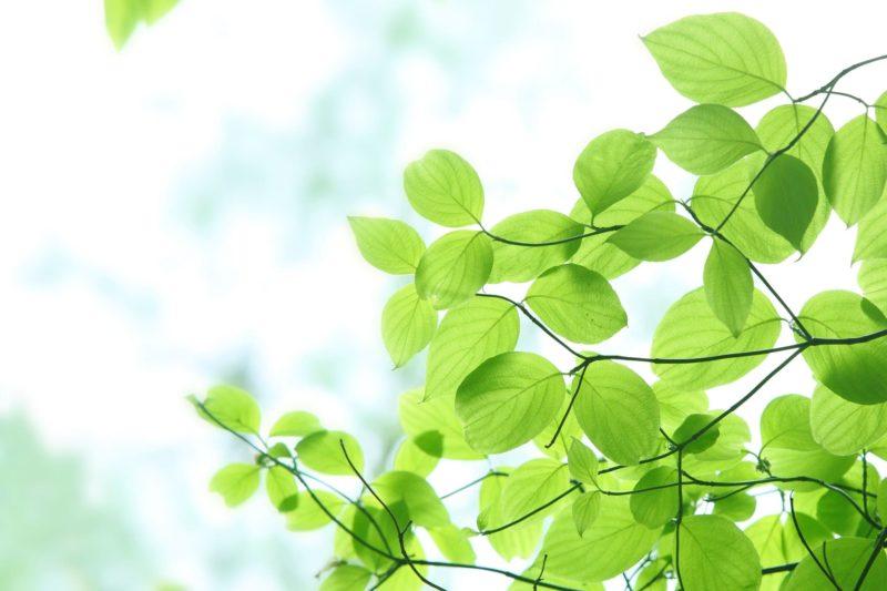 白い空に伸びている枝の葉