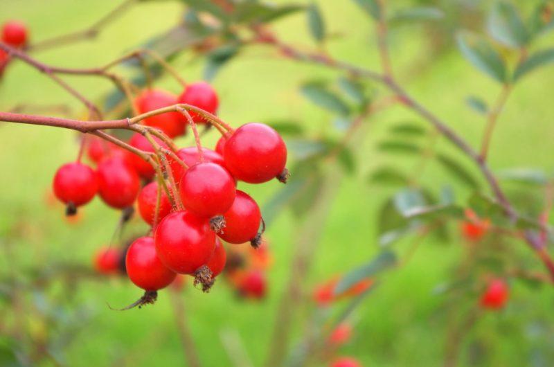 木になっている赤いローズヒップ