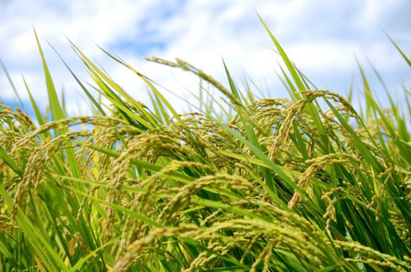 青空に実った稲たち