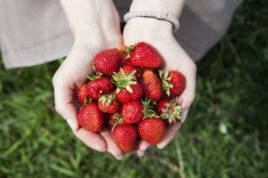 草むらのうえで両手に沢山の苺を持っている