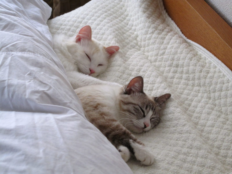 布団で寝る2匹の猫