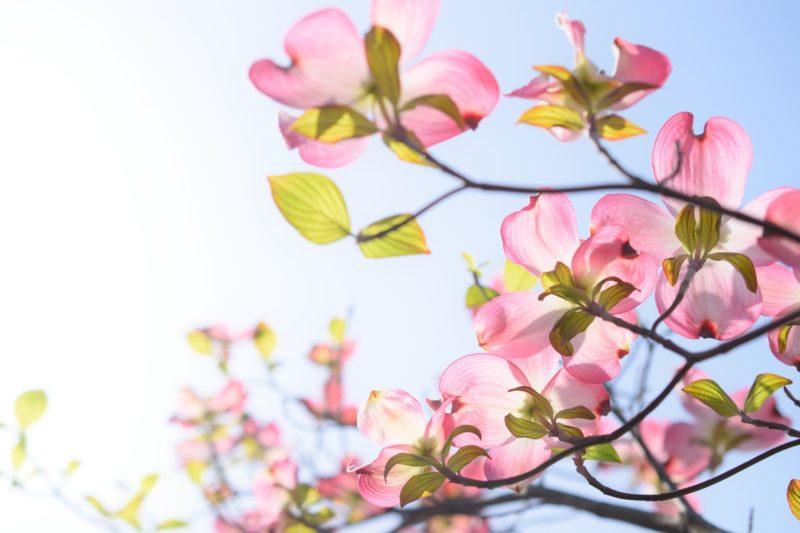 ピンクの花に春の日差しが注がれている写真