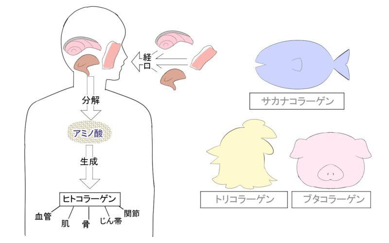 コラーゲンの必要性 図解 イラスト