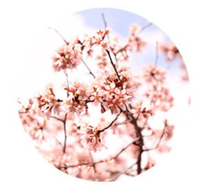 花想容 サクラ
