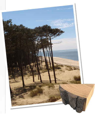 フランス海岸松